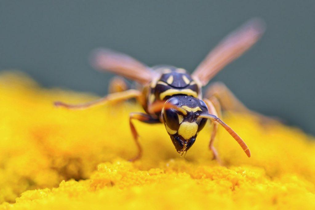 gallic-field-wasp-1548241_1280